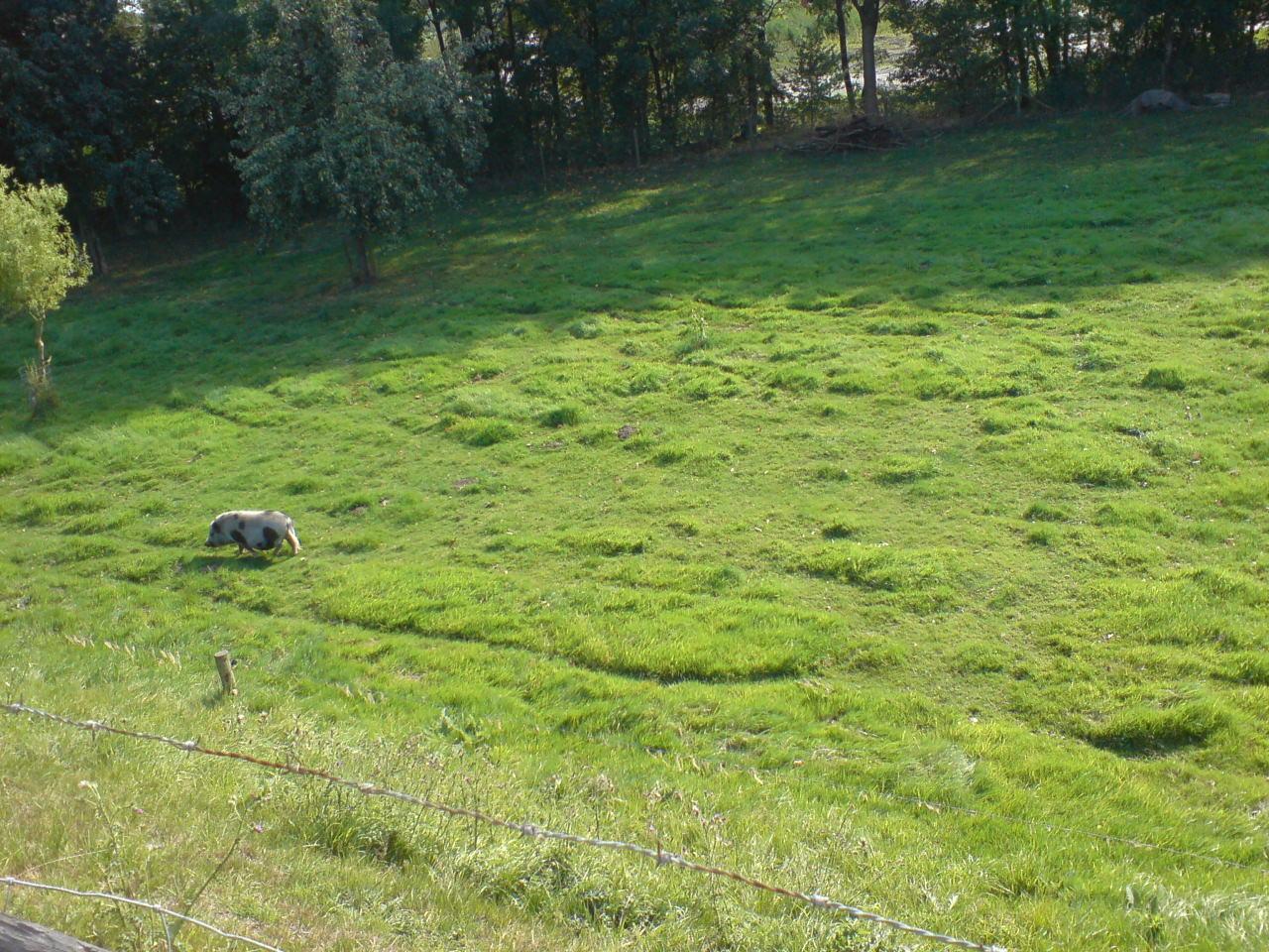 Schwein, kurz vor Lith in Noord Brabant, Niederlande